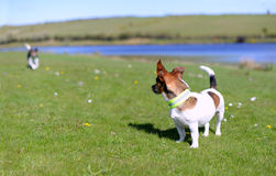 Jack Russell Terriers Standing on Grass Watching Royalty Free Stock Image