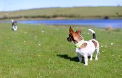Jack Russell Terriers Standing sulla sorveglianza dell'erba immagine stock libera da diritti