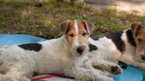 Jack Russell Terriers Royalty Free Stock Photo