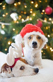 Jack Russell Terriers. Two Jack Russell Terriers Posing for Christmas Stock Images