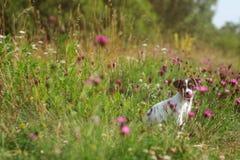 Jack Russell-Terrierwelpe auf Wiese, rosa Gartennelke blüht aro lizenzfreie stockbilder