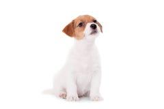 Jack Russell valp (1,5 gamla månad) på vit Arkivbild