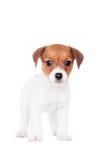 Jack Russell valp (1,5 gamla månad) på vit Arkivfoto