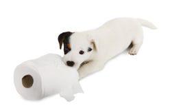 Jack Russell valp med toalettpapper Arkivbild