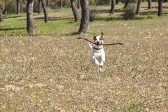 Jack Russell w parku Zdjęcie Royalty Free