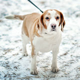 Jack Russell for a walk Stock Photos