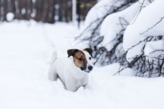 Jack Russell walking. In the snowy Park Stock Image