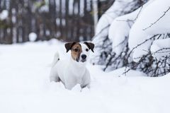 Jack Russell walking. In the snowy Park Royalty Free Stock Image