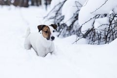 Jack Russell. Walking in the snowy Park Stock Photos