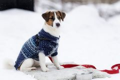 Jack Russell in a warm jacket royalty free stock photography