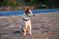 Jack Russell watching the sunset Stock Photo