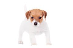 Jack Russell-Welpe (1,5-monatiges altes) auf Weiß Lizenzfreie Stockfotos