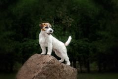 Jack russells family portrait stock photography