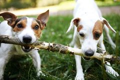 Jack russells fight over stick stock photos