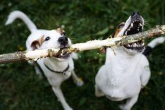 Jack russells fight over stick stock photo