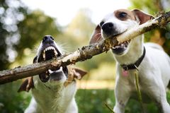 Jack russells fight over stick royalty free stock image