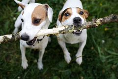 Jack russells fight over stick stock images