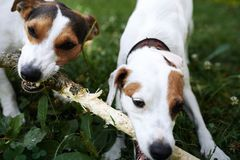 Jack russells fight over stick royalty free stock photography