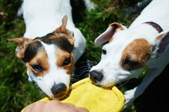 Jack russells fight over toy royalty free stock photos