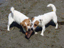 Jack Russells at play Stock Photos