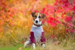 Jack russelsitting en parc d'automne photographie stock