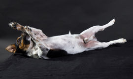 Jack Russell Terrier. Cute Jack Russell Terrier playing dead Stock Images