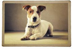 Jack russle terrier Royalty Free Stock Image