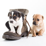 Jack Russles puppies in shoe Royalty Free Stock Photo