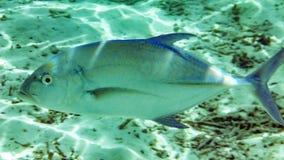 Jack ryba w Maldives obrazy stock