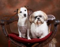 Jack and shih-tzu Stock Photo