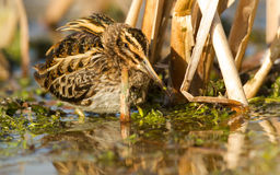 Jack snipe. A Jack snipe in a pool Stock Photo