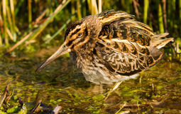 Jack snipe hiding. Jack snipe in a pool Royalty Free Stock Images