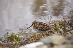 Jack snipe or Lymnocryptes minimus is a migratory waterbird. Jack snipe or Lymnocryptes minimus is a migratory small waterbird . They search in mud for royalty free stock photography