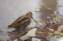 Jack snipe or Lymnocryptes minimus is a migratory waterbird. Jack snipe or Lymnocryptes minimus is a migratory small waterbird . They search in mud for stock photos