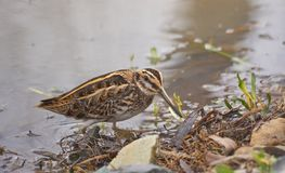 Jack snipe or Lymnocryptes minimus is a migratory waterbird. Jack snipe or Lymnocryptes minimus is a migratory small waterbird . They search in mud for stock photography