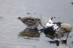 Jack snipe, Lymnocryptes minimus. Single bird in water, Warwickshire, March 2013 Royalty Free Stock Photography