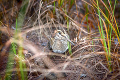 Jack snipe - very secretive marsh bird. Jack snipe Lymnocryptes minimus - very secretive marsh fowl. Bird is hiding and sees equally well forward and backward Royalty Free Stock Photography