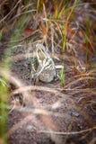 Jack snipe - very secretive marsh bird Royalty Free Stock Image