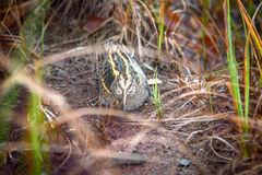 Jack snipe - very secretive marsh bird. Jack snipe Lymnocryptes minimus - very secretive marsh fowl. Bird is hiding and sees equally well forward and backward Royalty Free Stock Photo