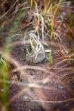 Jack snipe - very secretive marsh bird Stock Image