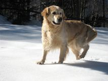 Jack in the snow. A Golden Retriever dog in the snow Royalty Free Stock Images