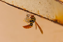 Jack Spaniard wasp building a small nest Stock Image
