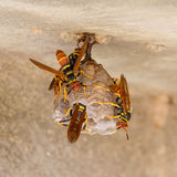 Jack Spaniard wasps on a small nest Stock Photo