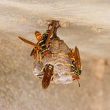 Jack Spaniard wasps on a small nest Stock Photo