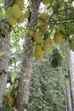 Jack tree and several jackfruits. Royalty Free Stock Photography
