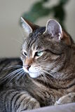 Jack, un chat tigré Photo libre de droits