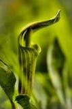 Jack verde intenso nel wildflower del quadro di comando Immagini Stock Libere da Diritti
