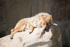 Jackal που κοιμάται στην πέτρα Στοκ Εικόνες