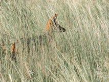 Jackal прячет в траве стоковая фотография