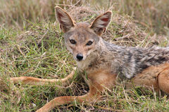 Jackal. Male jackal resting in the afternoon heat of the Masai mara reserve, Kenya Stock Photos